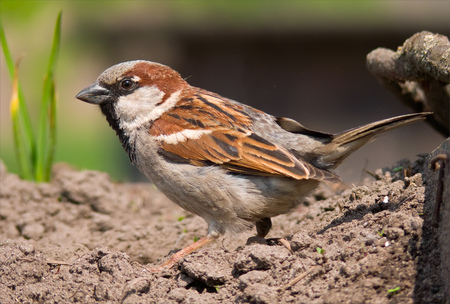 House sparrow courtship display on the ground