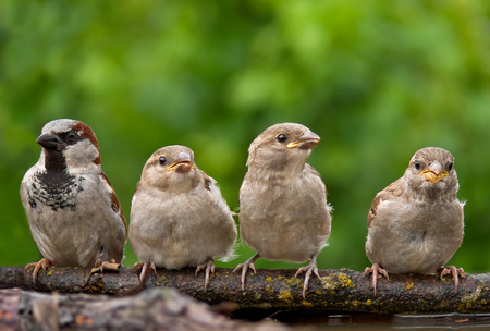 House sparrow male with his children - family life