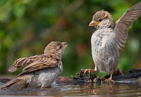 House sparrows in a conflict on the waterpond