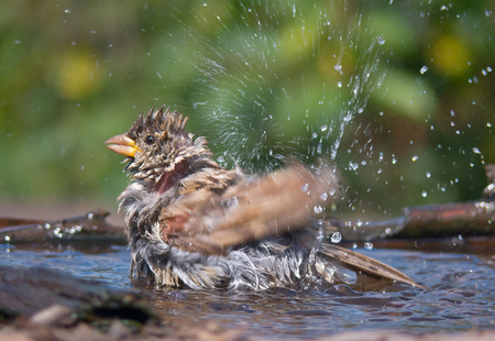 Young House sparrow bathing with splashes