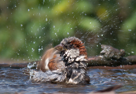 soppy: House sparrow bathing with a lot of splashes