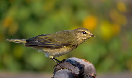 curiously: Common chiffchaff looking curiously