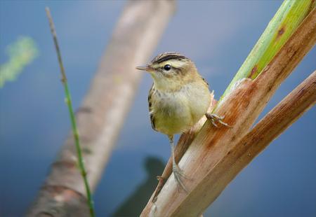 warblers: Sedge Warbler perched on a reed mace stem