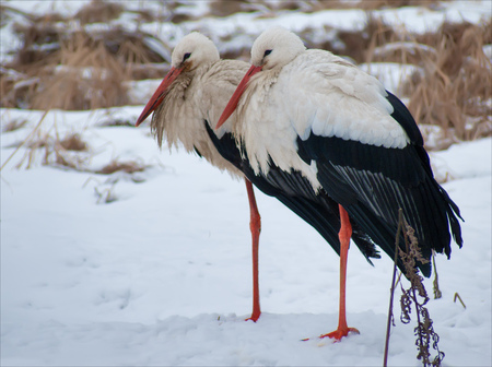 White Storks identicals in winter