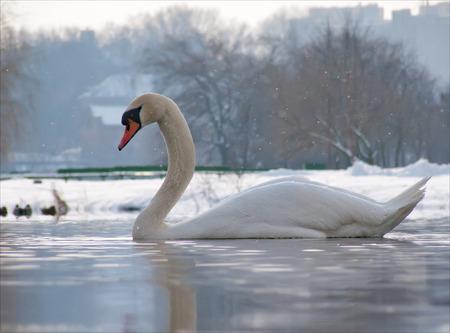 Mute Swan swimming in backlight