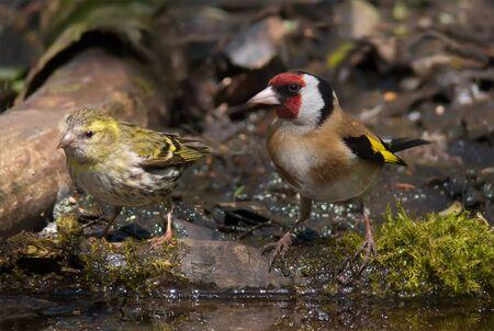 European Goldfinch and Eurasian Siskin size comparison Stock Photo