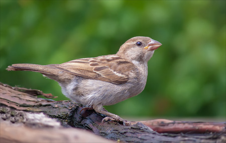 House sparrow humorous look