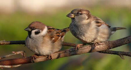 Tree Sparrow and House Sparrow comparison Stock Photo