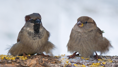 House Sparrows funny fluffy couple in winter