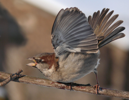 House Sparrow intimidation display