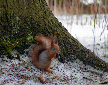 savour: Red Squirrel feeding on fir cones Stock Photo