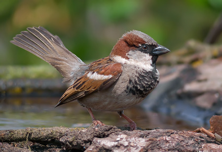 flirtation: House sparrow courtship display with open tail