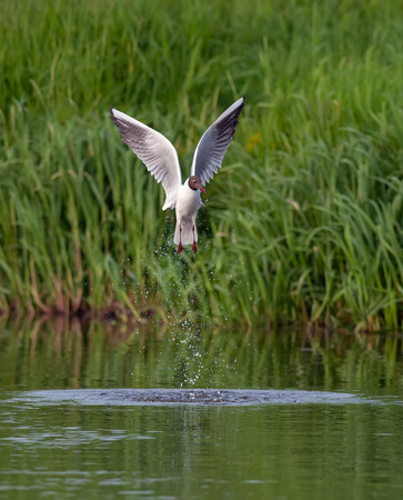 chroicocephalus: Black-headed gull flying out the water Stock Photo