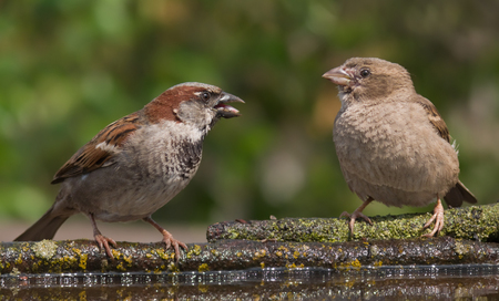 jesting: House sparrows male and female mocking each other near a waterpond