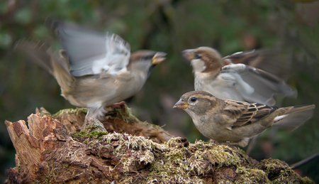 House Sparrows fighting for female