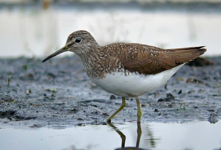 wash: Green Sandpiper wading in a pond