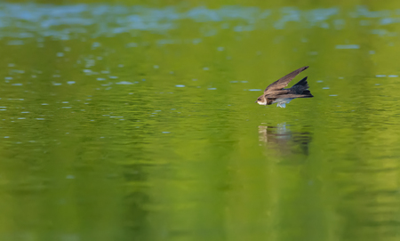 Sand martin flying over the water edge