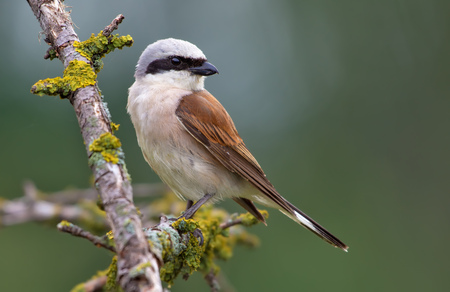 Red-backed Shrike perched on a lichen branch