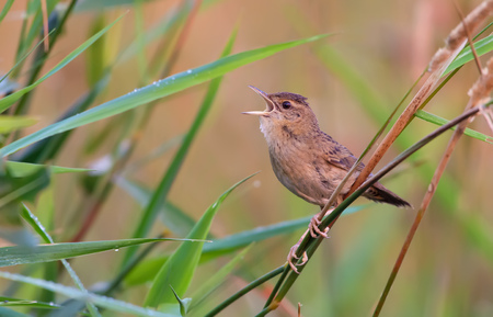 rowdy: Adult male Common grasshopper warbler singing in grass Stock Photo