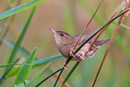 Adult male Common grasshopper warbler posing in grass Stock Photo