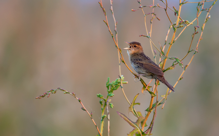 rowdy: Adult male Common grasshopper warbler singing loud