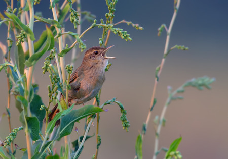 Adult male Common grasshopper warbler singing voice
