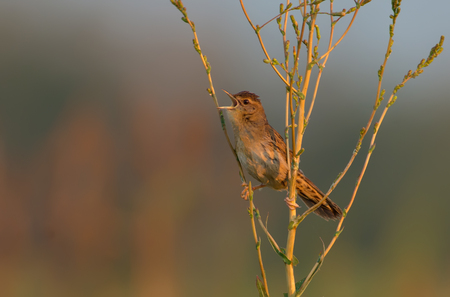 Adult male Common grasshopper warblers morning song