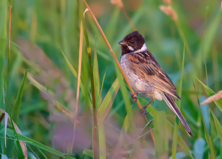 Adult Male Common reed bunting posing in grass