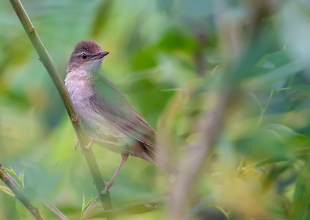 warblers: Adult Male Savis warbler in a thicket Stock Photo