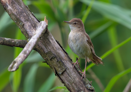 warblers: Adult Male Savis warbler posing on a dry branch Stock Photo