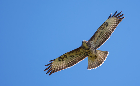 spreaded: Common buzzard high in sky Stock Photo
