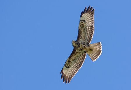 raptorial: Common buzzard soaring in sky