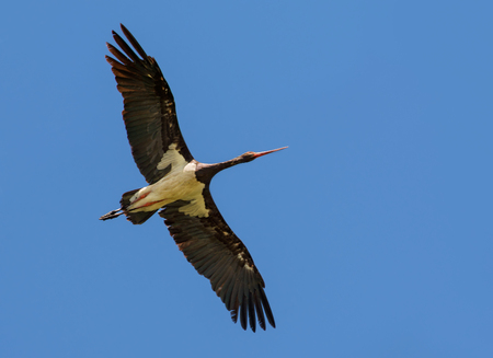 spreaded: Black stork soaring in blue sky