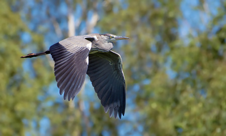 spreaded: Grey heron flying in front of birch trees