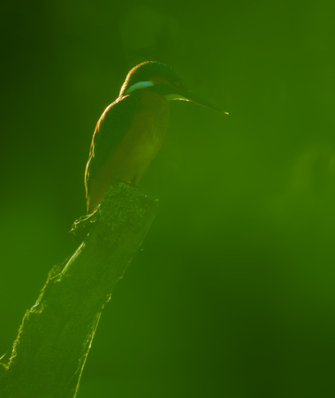 Common kingfisher through thick leafy green foliage