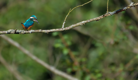 Common kingfisher in environment