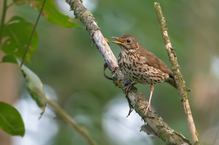 disquieted: Adult Song Thrush worried near its nest