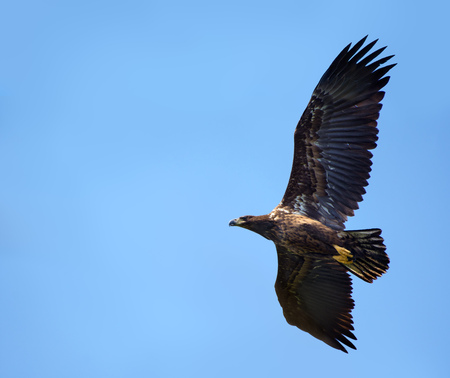Young White-tailed eagle banking in flight Stock Photo