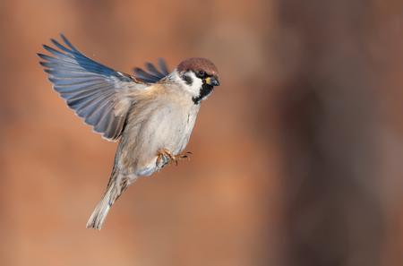 Tree sparrow in bright flight Stock fotó