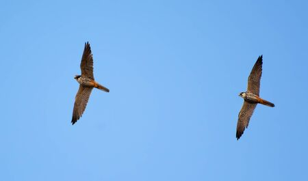 Adult Eurasian hobbies flying near their nest Stock Photo