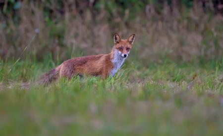 草の中の赤いきつね狩り