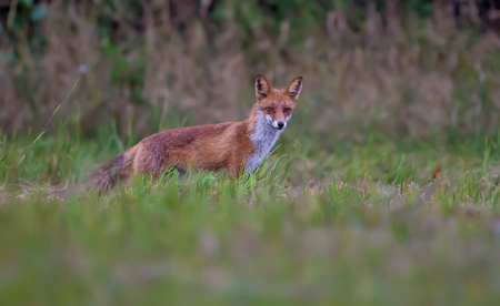 Red fox hunting in grass