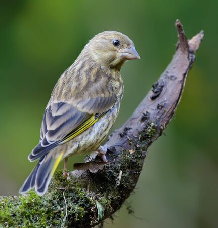 Young European Greenfinch sitting on mossy perch