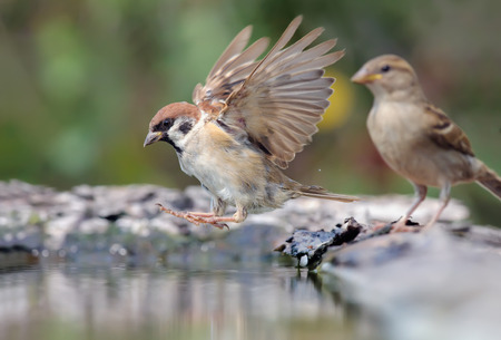 Eurasian Tree Sparrow jumping into water with open wings Stock Photo
