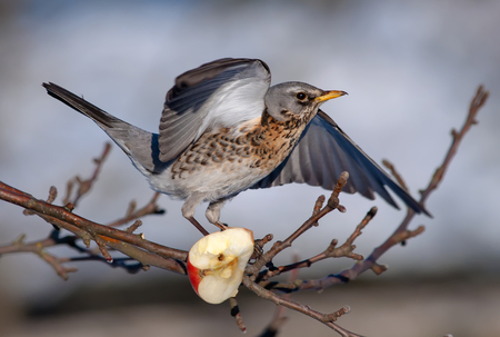 Fieldfare balancing on branch near an apple in winter