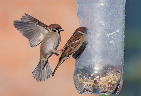 spreaded: Eurasian Tree Sparrows in battle at feeder container