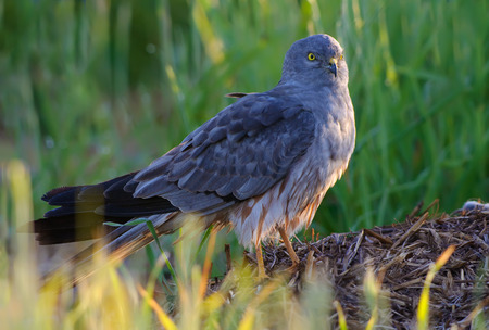 raptorial: Montagus Harrier posing on hay stock in the morning