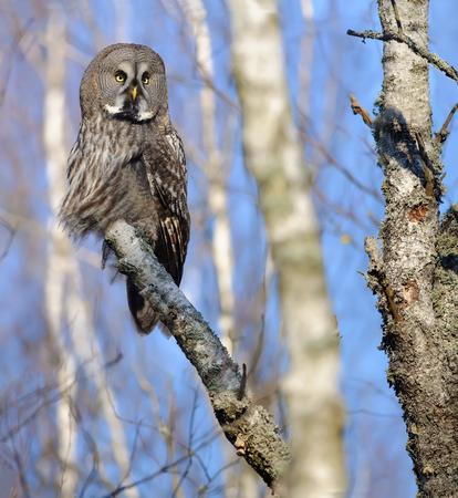 Great Grey Owl posing on a birch trunk