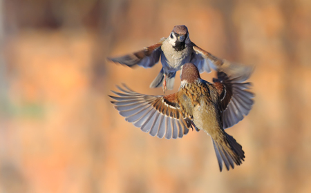 Eurasian Tree Sparrows dancing and fighting in the air