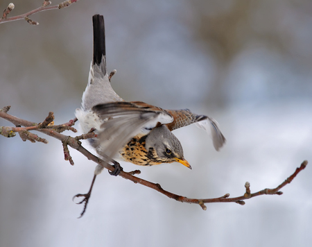 Fieldfare falling from apple tree branch and helping itself with wings Stock Photo
